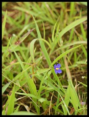 Wildflowers : Gentiana marginata (indianature13) Tags: matheran biosphere 2018 september monsoon maharashtra india westernghats nature indianature nearmumbai forest jungle hills mountains 700m cloud mist flora wildflora monsoonflora panoramapointhike panoramapoint gentianviolet gentiana gentianamarginata wildflower westernghatsflora wildflowersofindia