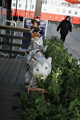 Huskies (bigjon) Tags: norway arctic scandinavia hurtigruten ship norse huskies sled kirkenes