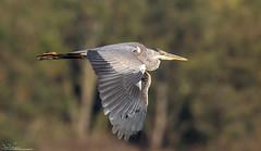 Grey Heron (Steve (Hooky) Waddingham) Tags: animal countryside nature flight fishing wild wildlife