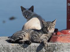 M2119839 E-M1ii 175mm iso200 f8 1_500s 0 (Mel Stephens) Tags: galicia holiday o grove spain 20180911 201809 2018 q3 4x3 wide olympus mzuiko mft microfourthirds m43 40150mm pro mc14 omd em1ii ii mirrorless animal animals domestic pet pets cat cats