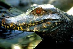 Krokodil - Crocodile (vampire-carmen) Tags: krokodil crocodile reptiel reptile tier animal raubtier predator beastofprey zoo tierpark paris frankreich france europe hdr canoneos600d አዞ تمساح կոկորդիլոս timsah krokodiloa কুম্ভীর မိကြောငျး крокодил buaya ngona 鱷魚 鳄鱼 krokodilo krokodill buwaya krokotiili cocodrilo ნიანგი κροκόδειλοσ મગર kwokodil tsirara kekani תנין मगरमच्छ khej agụiyi crogall coccodrillo クロコダイル קראָקאָדיל ಮೊಸಳೆ ក្រពើ 악어 tîmseh voay മുതല karaka матар मकवानपुर میووډول krokodyl crocodilo ਮਗਰਮੱਛ tarako koena nguruve زراعت කිඹුල් yaxaaska mamba тухм முதலை మొసలి จระเข้ krokodýl cásấu crocodeil