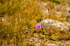 7K8A7560 (rpealit) Tags: scenery wildlife nature weldon brook management area orange sulphur butterfly