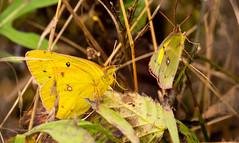 7K8A7599 (rpealit) Tags: scenery wildlife nature weldon brook management area orange sulphur butterfly