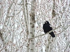 Важная птица / Impotant bird (Владимир-61) Tags: зима январь иней лес деревья грач птица rook frost january winter nikon coolpix p600 natureinfocusgroup