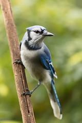 Blues & Greens (Neal_Lewis) Tags: bluejay jay bird