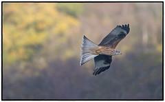 Red Kite (CliveDodd) Tags: milvusmilvus red kite brecon beacons