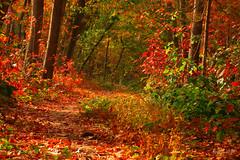 IMG_012426 - Autumn, my favorite season (Monique van Gompel) Tags: flickrfriday orange autumn sunlight autumncolors forest herfst herfstkleuren bos leaves nature natuurfotografie naturephotography tamronsp90mmf28dimacro11vcusd canoneos80d