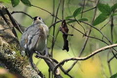 Keeping a careful watch (Bird-guy) Tags: tuftedtitmouse baeolophusbicolor newmanwetlandcenter claytoncountygeorgia