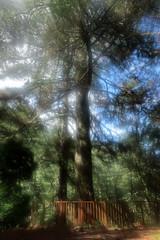 下到登山口與這棵很美的大松木,背著背包又踮腳尖拍他,因為手震加上鏡頭起霧而得到這個矇矓效果,意外的很喜歡這張。 (印象中,以前沒有圍起來,可以走一圈又可以摸他,樹皮超大塊,像魚鱗一樣一片一片的。)