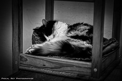DSC_4845L (Pascal Rey Photographies) Tags: chat chatte katze gato cat kitty gatto animaux animalerie animales animali tiere noirblanc noiretblanc blackwhite blancoynegro schwarzundweiss schwarzweiss zwartwit