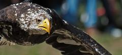 Bald eagle passing by (pe_ha45) Tags: baldeagle weisskopfseeadler haliaeetusleucocephalus frankenhof falknerei fauconnerie falconry greifvogel raptor rapace
