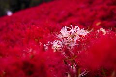 cluster amaryllis (__hideto__) Tags: sony α7iii ilce7m3 曼珠沙華 彼岸花 flower