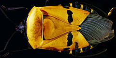 'Man-faced' beetle panorama (Aenima micro) Tags: microscope microscopy microscopephotography macro macrophotography bh2 biology objective photomicrography extrememacro canon olympus insect beetle focus science stacking helicon 25x leitz panorama mosaic