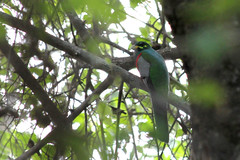 Trogon narina (Dietmar Petrausch) Tags: apalodermanarina trogonidae trogon trogonnarina narinatrogon umfurudzi zimbabwe