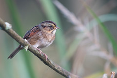 Swamp Sparrow (Jesse_in_CT) Tags: swampsparrow sparrow nikon