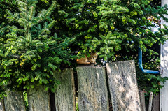 Young kitten sitting on the fence (ivan_volchek) Tags: branch cat cathid christmastree environment evergreen fence flora garden grass greentree growth ivy landscape leaf nature old oldwoodenfence outdoors park redheadedcat season shrub summer tree wood woodenfence youngcat