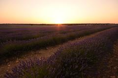 Campos de Lavanda en Brihuega (Hachimaki123) Tags: brihuega plant planta flor flower lavanda lavender paisaje landscape sunset atardecer