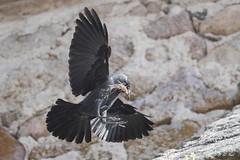 DSC_6884 (P2 New) Tags: 2018 animaux choucasdestours corvidae date espagne extremadura mai oiseaux passériformes pays