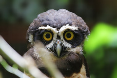 Spectacled owl (Pulsatrix perspicillata) - Costa Rica (Up and Down the Horizon) Tags: spectacledowl pulsatrixperspicillata costarica owl gufo forest foresta gufodagliocchiali puravida