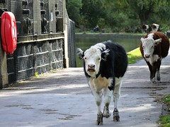 Lifebelt (R C Pearce) Tags: cambridge cambs bridge lifebouy cattle livestock heifer riverbank stampede cow rivercam