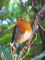 Robin. (cngphotographic) Tags: autumn eastsussex england english britain sunshine outside outdoors nature bird robin red breast male song shrub woodland parkland uk naturaleza natural afternoon hs50exr fujifilm opensource