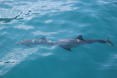 Spinner dolphins in clear water (kahunapulej) Tags: lucky lady catamaran tour kauai na pali coast snorkel trip spinner dolphin