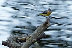 Gebirgsstelze (Motacilla cinerea) vor einem Hintergrund wie gemalt (kalakeli) Tags: gebirgsstelze motacillacinerea bergstelze greywagtail birds vögel rur flüsse rivers wasser water