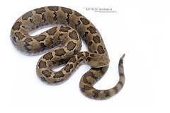 Crotalus ravus (Matthieu Berroneau) Tags: trip mexique sony alpha macro nature france herpéto wildlife animal animaux ff 24x36 full frame a7ii 7ii 7mk2 sonyilce7m2 herping herpeto reptile reptilian reptilia serpent serpente snake serpentes snakes serpiente field herp venomous poisonous serpents sonya7ii sonya7mk2 sonyalpha7mark2 sonyalpha7ii 90 28 fe f28 g oss fe90f28macrogoss sonyfesonyfe2890macrogoss objectifsony90mmf28macrofe sel90m28g crotalus ravus crotalusravus cascabel pigmea mexicana cascabelpigmeamexicana cascabeldenueveplacas viboritadecascabel colcoatl sistrurus mexicanpigmyrattlesnake mexicanpygmyrattlesnake crotale pygmé crotalepygmé white highkey high key textbook fond fondblanc blanc