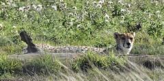 Cheetah #3 (MJ Harbey) Tags: animal mammal grass cheetah acinonyxjubatus felinae felidae zsl zoo whipsnade zslwhipsnade whipsnadezoo zslwhipsnadezoo bedfordshire nikon d3300 nikond3300