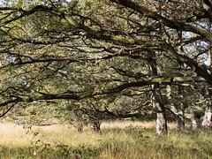 Kampsheide (Jeroen Hillenga) Tags: kampsheide drenthe netherlands nederland natuur nature natuurgebied natur landscape landschap heide bomen bos takken trees trunks