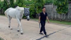 Walking my Zebra (Star Wizard) Tags: bangkok krungthepmahanakhon thailand th