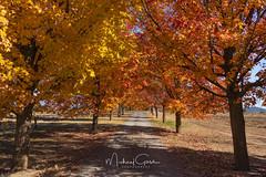 Autumn Lane (NikonDigifan) Tags: autumn autumnleaves trees fall fallcolors spokane greenbluff pacificnorthwest pnw inlandnorthwest washington nikon nikond750 nikon28300 mikegassphotography