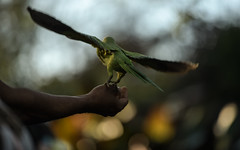 Take-off/teetering (PChamaeleoMH) Tags: birds centrallondon feeding hands interaction london parakeet people ringneckedparakeets stjamesspark