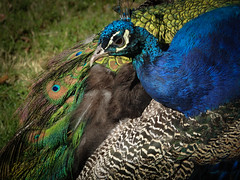 Peacock (Kirstykins_) Tags: peacock bird blue green feather feathers animal nature wild wildlife photography