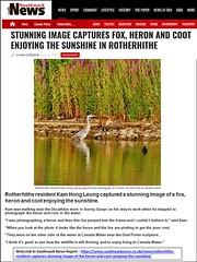 "33_A40_Heron, Fox & Coot_2018JUL17 (Kam Hong Leung 07) Tags: ""beatriceleung"" ""kamhongleung"" ""leungkamhong"" 'lauraburgoine' se16 'canadawater' rotherhithe 'surreyquays' 'surreydocks' 'bermondseybiscuitrotherhithedocker' bbrd 'southwarknews' 'weekender' fox bird 'birdofprey' rspb 'greyheron' fish tern swan gull coot 'greatcrestedgrebe' 'tuftedduck' cormorant 'canadawaterlibrary' 'canadawaterstation' 'dealportersculpture' 'surreyquaysshoppingcentre' scsc dock dockland southwark london tree flora fauna wildlife 'greenspace' conservation woman girl ecology environment nature plant community neighbourhood 'naturalneighbourhood' dawn dusk sunset morning night"