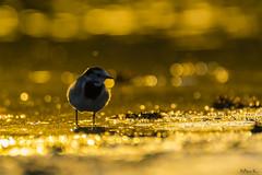 Pliszka siwa/Wagtail/Motacilla alba #4 (mirosławkról) Tags: pliszka alba wagtail motacilla wild wildlife animal bird nature nikonnaturephotography 150600 water pond marsh mud beach orange bokeh silesia poland