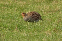 Grey Partridge (hedgehoggarden1) Tags: greypartridge birds rspb wildlife nature sonycybershot animals creature norfolk eastanglia uk partridge sony native feathers plumage