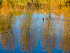 mallard on fall reflection in Animas (maryannenelson) Tags: colorado durango animasriver fall autumn landscape milkweed seeds pod