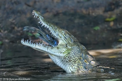 Open Wide.... (Duncan Blackburn) Tags: 2018 southafrica crocodile reptile lakepanic kruger nikon nature wildlife ngc