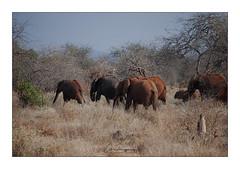 Eléphants Tsavo Kenya (Claire PARMEGGIANI Photos) Tags: africa africangallery africanlife africanwildlife eastafrica gamedrive kenya safari tsavo wildlife wildafrica elephant bigfive