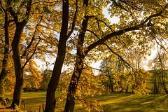The beauty of autumn (clemensgilles) Tags: vulkaneifel trees hiking wanderlust wälder herbst automne autumnleaves fall autumn eifel germany beautiful