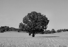 The Oak (John Neziol) Tags: jrneziolphotography portrait landscape oaktree tree trees nikon nikondslr nikoncamera nikond80 naturallight nature blackwhite monochrome outdoor photography field leaves