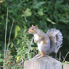Standing squirrel. (wurzel.pete.3.6 Million views,Ta!) Tags: 6918 uk surrey wildlife flickr standing squirrel