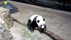 2018_09-23n (gkoo19681) Tags: beibei chubbycubby fuzzywuzzy adorableears feetsies patientlywaiting tooearly toocute beingadorable beinggood goodboy comfy meltinghearts darling precious ccncby nationalzoo