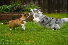 Jump (Kenjis9965) Tags: sony90mmf28gossmacro sony 90mm f28 g oss macro sonya7iii a7 mark iii cardigan welsh corgi adorable puppy playing outside stumps stumper short having fun good boy dogs