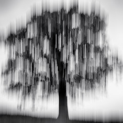 lone tree - standing (Dr Kippy) Tags: icm intentionalcameramovement tree bw blackandwhite blackwhite mono monochrome canon7d sigma1750mmf28
