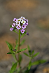 Single Alyssum (pstenzel71) Tags: blumen natur pflanzen alyssum darktable flower bokeh