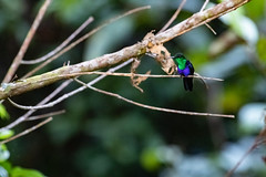 Thalurania furcata (Alwin Peter van Loenhout) Tags: hummingbird kolibrie bird thalurania vogel ecuador