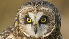 Shortie Time (photosauraus rex) Tags: bird shortie shortearedowl owl vancouver bc canada