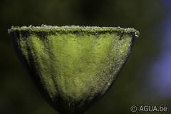 18DSC_6920 (Waterlelie.be) Tags: nelumbo zaaddoos